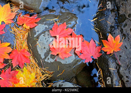 Vine maple leaves turning gold and red in a tiny creek in the Oregon Cascades in October. - Stock Photo