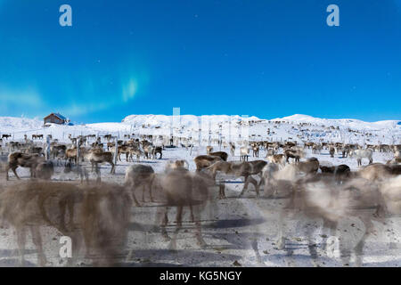 Flock of reindeer under Northern Lights, Abisko, Kiruna Municipality, Norrbotten County, Lapland, Sweden - Stock Photo