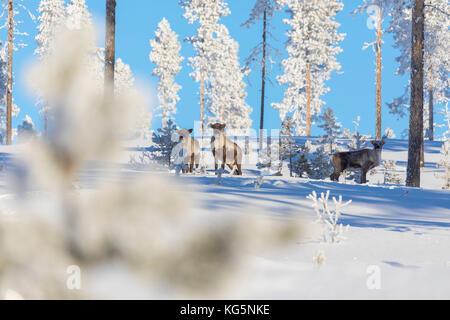 Reindeer among frozen trees in the snowy forest, Kiruna, Norrbotten County, Lapland, Sweden - Stock Photo