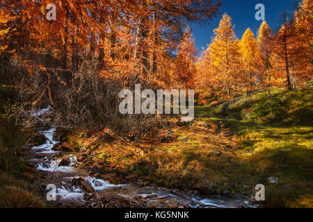 Woods of golden larches, Engadine, Canton of Graubunden, Switzerland, Europe - Stock Photo