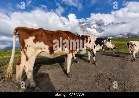 Cows in the pastures of First Grindelwald in background mount Jungfrau and mount Mönch( covered by clouds) Bernese - Stock Photo
