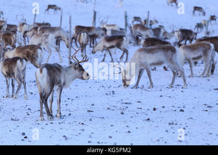 Reindeer grazing. Riskgransen, Norbottens Ian, Lapland, Sweden, Europe - Stock Photo