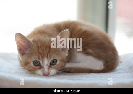 Foster kitten recovering from eye infection curled up. - Stock Photo