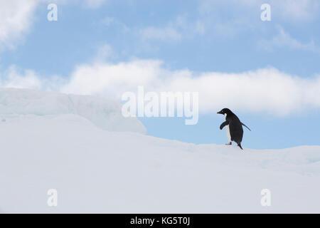 Adelie Penguin walking on ice floe, Antarctica - Stock Photo