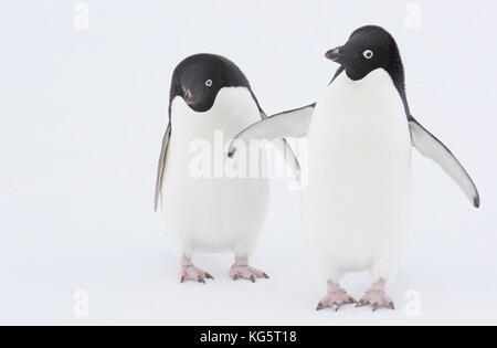 Adélie Penguins on ice, Antarctica. - Stock Photo