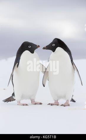Two Adélie Penguins on ice, Antarctica. - Stock Photo