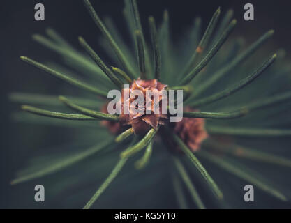 Picea abies (Norway spruce) top of the branch with buds, close up view - Stock Photo