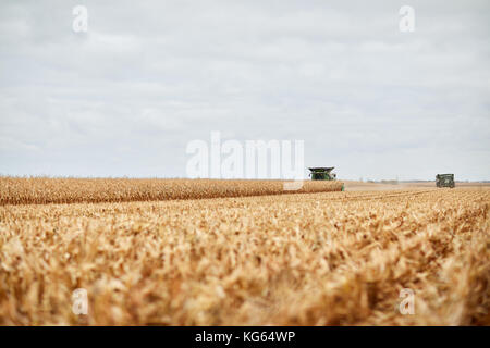 Pair of combine harvesters harvesting a field of dried autumn maize viewed low angle over cut stubble or stalks - Stock Photo