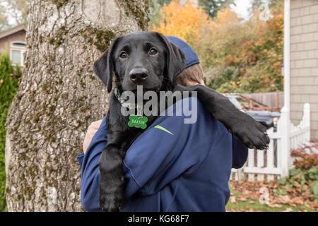 Boy holding 'Baxtor', his three month old black Labrador Retriever puppy, in Bellevue, Washington, USA - Stock Photo