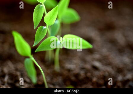 Close-up of green seedling growing plant out of soil - Stock Photo