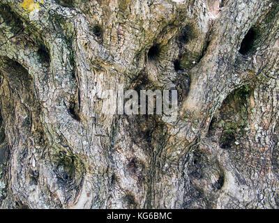 Trunk detail of a old olive tree (Olea europaea) at Melanes, Naxos island, Cyclades, Aegean, Greece - Stock Photo