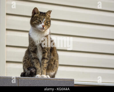 A tough street cat with green eyes watching the neighborhood - Stock Photo