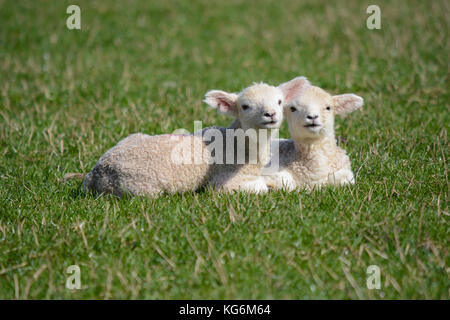 Two cute baby newborn twin lambs lying together in a field in spring - Stock Photo
