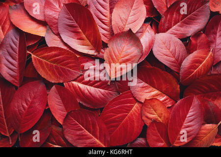 Closeup of Red Aronia Autumn leaves background texture. Red Autumn Leaves Background. Aronia melanocarpa (Chokeberry) - Stock Photo