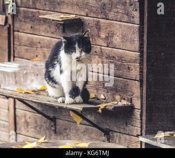 Old stray cat sitting in front of the old cottage on Great War Island, Belgrade, Serbia, looking forward to autumn - Stock Photo