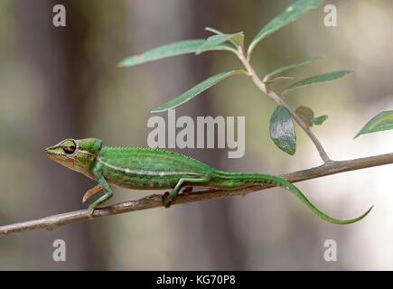 Short-nosed chameleon Calumma gastrotaenia, Anjozorobe Nationalpark, Madagascar - Stock Photo