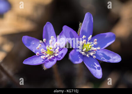 Closeup of two liverleaf flowers catching the morning rays of sun in the forest undergrowth - Stock Photo