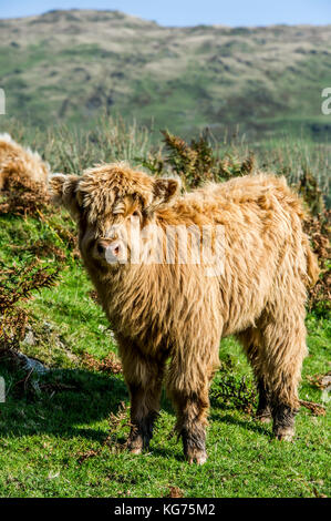 Highland Cattle standing in a field near Coniston in the Lake District, Cumbria - Stock Photo
