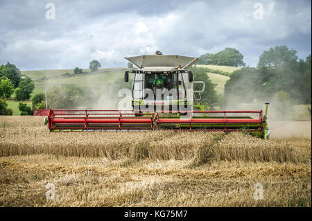 A combined harvester gathers in a field of wheat in the Cotswolds, UK - Stock Photo