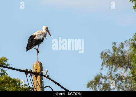 A storks standing on a electricity pole on one leg - Stock Photo