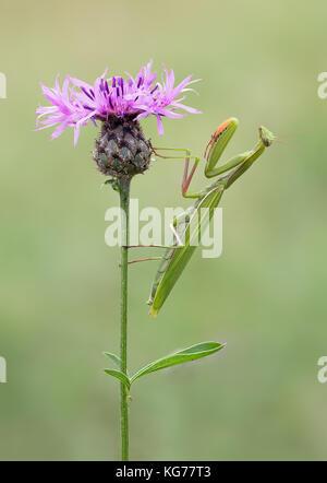 Europäische Gottesanbeterin / European Brown Green Colored Adult Smart Insect Mantis Religiosa Common Green Praying - Stock Photo