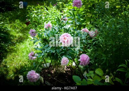 Bush of pink peonies 'Sarah Bernhardt' in the garden. Sunny day. - Stock Photo