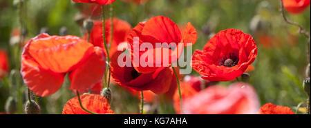 Mohnblüten im SommerKlatschmohn,Papaver, Poppyfield in the summer - Stock Photo