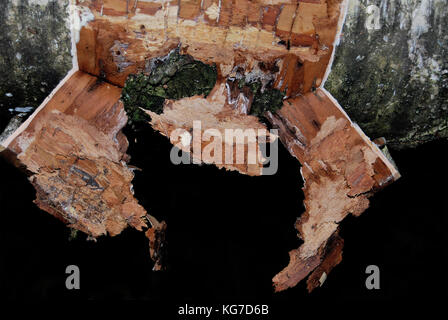 Torn off birch bark in an old tree - Stock Photo
