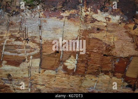 Texture of a tree eaten by bark beetle - Stock Photo