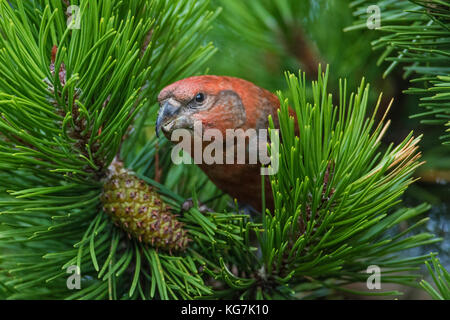 Male Parrot Crossbill (Loxia pytyopsittacus) in pine tree, Mainland Shetland, Scotland - Stock Photo