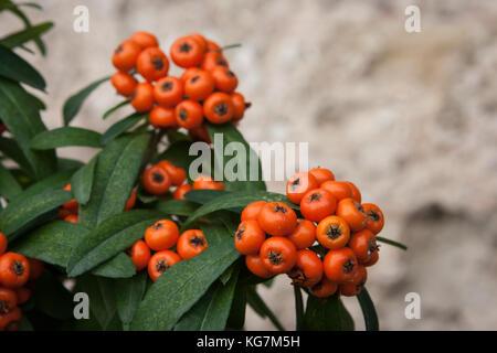 Cotoneaster plant in Gubbio, Umbria, Italy - Stock Photo