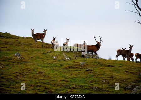 A Red Deer (Cervus elaphus) stag with his harem on a Scottish moor. These animals were photographed in captivity. - Stock Photo