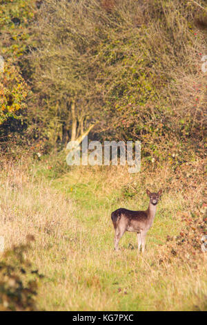 A subadult dark form Fallow Deer (Dama dama) seen on the Chiltern Hills during a sunny autumn afternoon