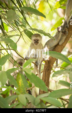 Young Vervet Monkey in a tree with family - Stock Photo