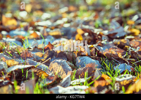 autumn leaves with hoar in november morning. Open aperture, shallow depth of field. Blurred foreground and background. - Stock Photo