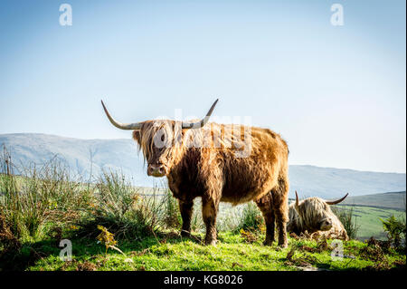 Adult Highland Cow standing in a field in the Lake District National Park - Stock Photo