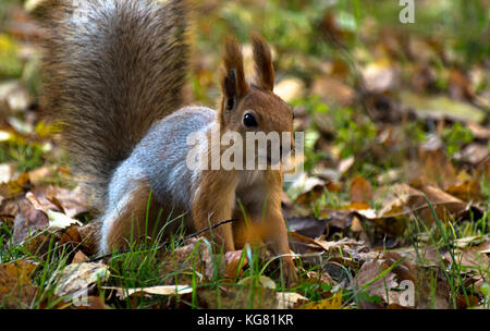 Red squirrel, grey winter coat, jumping in the autumn park, green grass, yellow leaves - Stock Photo