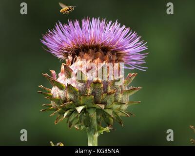 Common wasp (Vespula vulgaris) flying down to compound purple flowerhead of globe artichoke (Cynara cardunculus - Stock Photo