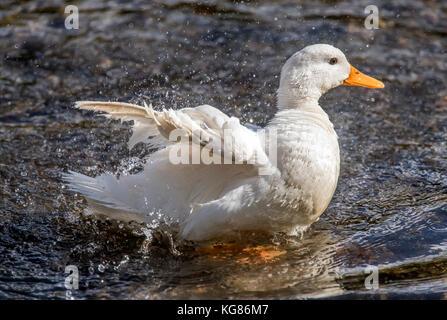 Pekin duck, in the river preening and washing itself - Stock Photo
