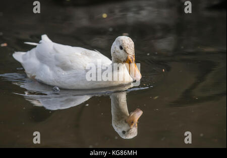 Pekin duck, in a river, close up, with a reflection - Stock Photo