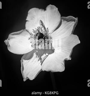 Black and white Japanese Anemone Study - Stock Photo