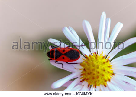 This red-winged wingless or beetle soldier on the astra. Blur. Autumn. - Stock Photo