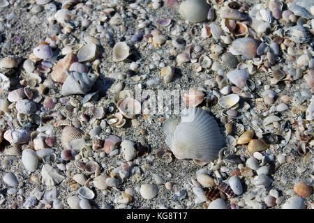 cluster of seashells on the beach, St. Pete Beach, Florida - Stock Photo