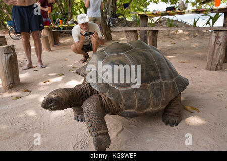 The Seychelles, La Digue, Anse Severe, wild Aldabra Giant Tortoise bring filmed by tourist - Stock Photo