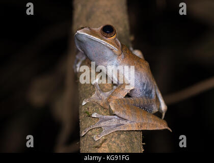 A White-lipped Bright Eyed Frog (Boophis albilabris) on a tree branch. Madagascar, Africa. - Stock Photo