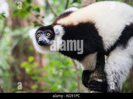 A Black-and-white Ruffed Lemur (Varecia variegata) on a tree. Madagascar, Africa. - Stock Photo