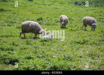 Three dairy sheep grazing with their lamb. - Stock Photo