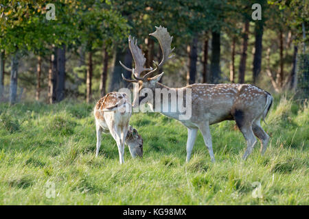 fallow deer (Dama dama) at Phoenix Park, Dublin, Ireland - Stock Photo
