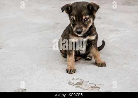 Dogs at the homestay - Stock Photo