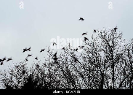 silhouettes of crows birds on bare tree - Stock Photo